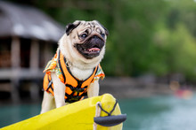 Happy Dog Pug Breed Wearing Life Jacket And Standing On Kayak Feeling So Happiness And Fun Vacations On The Beach,Dog Vacations Concept