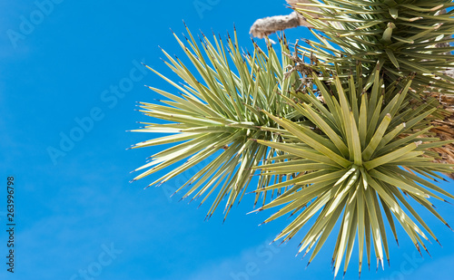 Valokuva  Joshua tree (palm tree yucca) against blue sky, close up