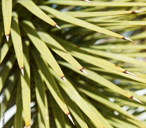 Fotografia, Obraz  Joshua Tree (palm tree yucca), close up