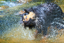 Wet Dog Shaking And Splashing ...