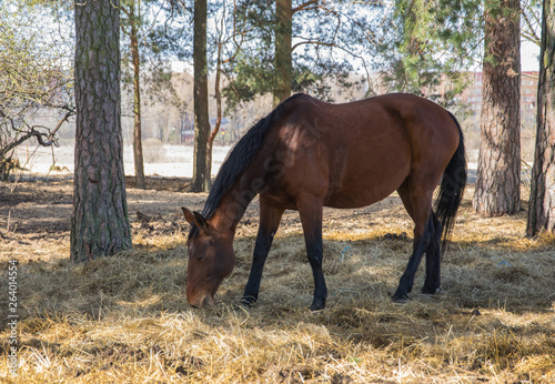 One bay horse is grazing on the edge of the forest Canvas-taulu