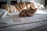 Fototapeta Sawanna - A cute Savannah cat on a couch