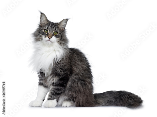 Cuadros en Lienzo Handsome black tabby with white Norwegian Forestcat, sitting up side ways