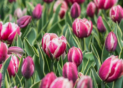 Beautiful bright colorful multicolored purple, pink white tulips on a large flower-bed in the city garden, close up #264017925