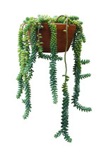 Hanging Succulent Plant Burro's Tail (Sedum Burrito) Or Donky Tail Plant In Clay Pot Isolated On White Background, Clipping Path Included.