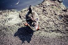 Ducks In A Natural Wetland Environment
