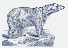 Endangered But Smiling Polar Bear (ursus Maritimus) Standing On An Iceberg. Illustration After A Historical Engraving From The 19th Century