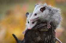 Pair Of Opossum Joeys (Didelph...
