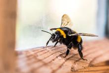 Bumblebee On The Window
