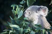 Koala Eating In A Tree Placidly