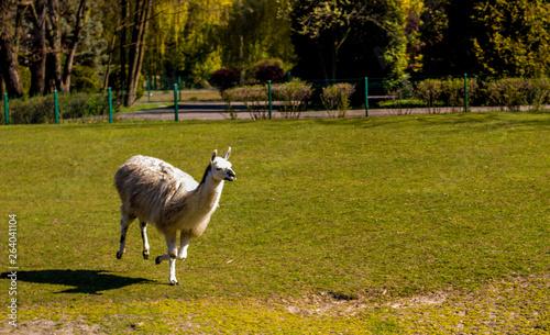 Prancing Llama from Katowice Zoo