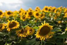 Sunflower Field In Italy