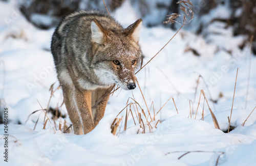 Coyote in the winter Poster Mural XXL