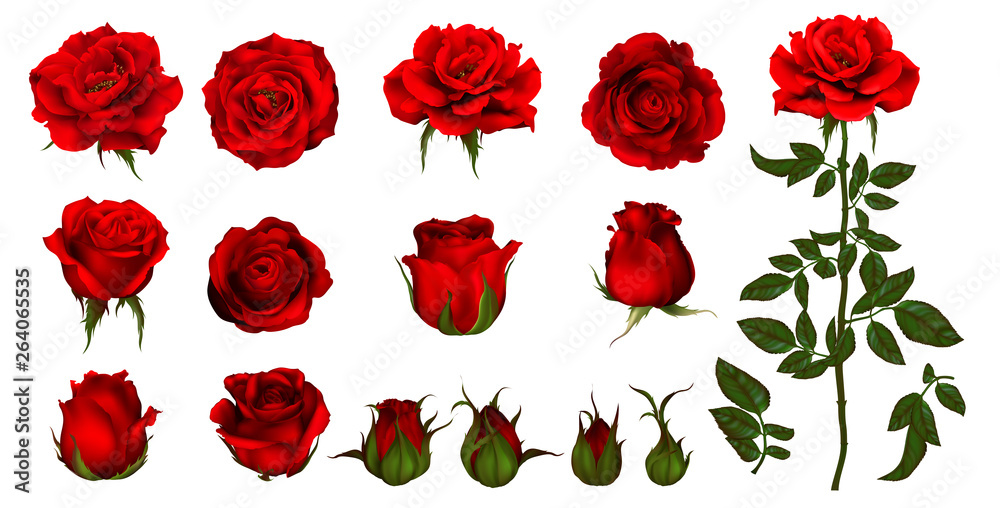 Fototapety, obrazy: Rose flower set of blooming plant. Garden rose isolated icon of red blossom, petal and bud with green stem and leaf for romantic floral decoration, wedding bouquet and valentine greeting card