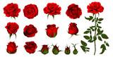 Zestaw róży kwiat kwitnących roślin. Róża ogrodowa na białym tle ikona czerwony kwiat, płatek i pączek z zieloną łodygą i liściem do romantycznej dekoracji kwiatowej, bukiet ślubny i Walentynki kartkę z życzeniami