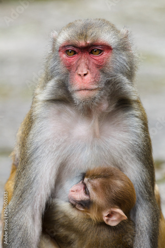 In de dag Mother macaque monkey with a baby