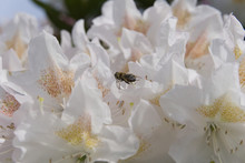 Mason Bee On Rhododendron In Oregon