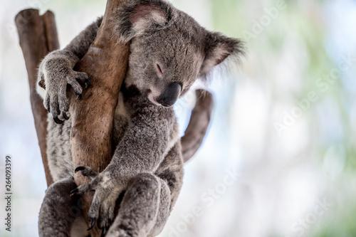 Photo Stands Koala koala in tree