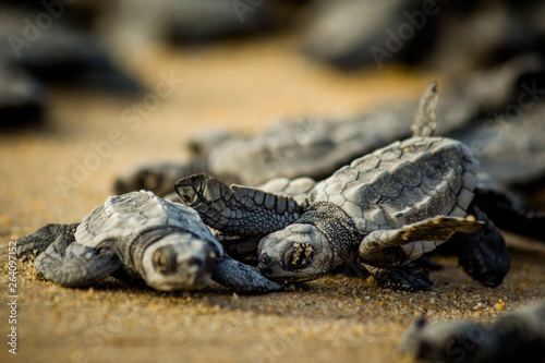 Valokuvatapetti Baby hatchling sea turtles struggle for survival as they scamper to the ocean in