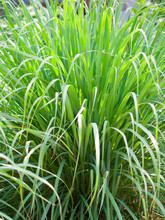 Lemongrass Or Lapine Or West Indian Were Planted On The Ground. It Is A Shrub, Its Leaves Are Long And Slender Green