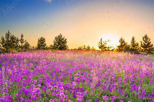 Wall Murals Beige spring landscape with flowering purple flowers on meadow