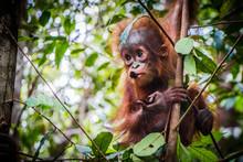 World's Cutest Baby Orangutan ...