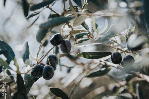 Fotoposter Olijfboom olive branch, olive tree, olives on the tree