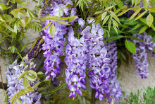 Blossoming Violet Wisteria Flowers With Young Spring Green Leaves On The House Wall, Close-up.