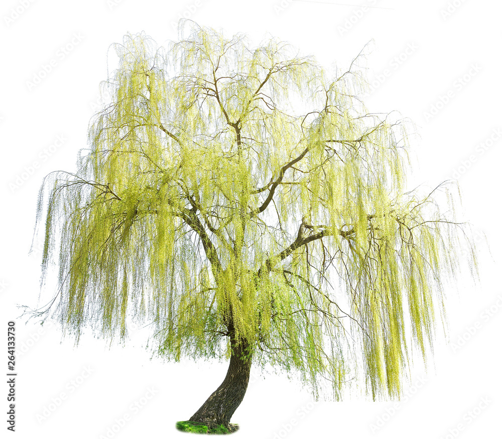 Fototapeta weeping willow in spring isolated on a white background. weeping willow isolate on a white background. White Willow (Salix Alba) isolated on white background