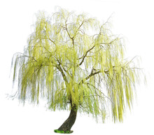 Weeping Willow In Spring Isolated On A White Background. Weeping Willow Isolate On A White Background. White Willow (Salix Alba) Isolated On White Background