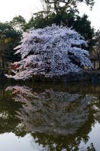 奈良公園の桜 奈良県...