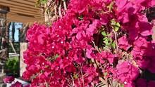 Purple Bougainvillea In The Wi...
