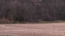 Huge Group Of Deer Running From Some Source, Alerted And Headed To The Tree Line For Cover.