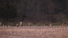 Huge Group Of Deer Running From Some Source, Alerted And Headed To The Tree Line For Cover In Slow Motion.