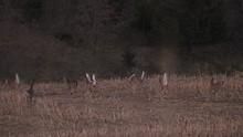 A Dozen Deer Running For The Trees.