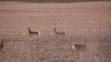 Two Deer Running Way From Danger Past All The Others