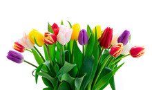 Fresh Tulips Flowers