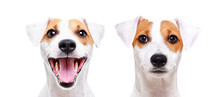 Portrait Of A Cheerful And Sad Dog Breed Jack Russell Terrier, Closeup, Isolated On White Background