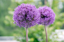 Allium Hollandicum Flowering P...