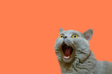 Fototapeta Animals - A lilac British cat looking up. The cat opened his mouth with a mad look. The concept of an animal that is surprised or amazed. The figure of a cat on an isolated background of coral color.