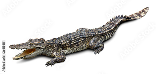 Autocollant pour porte Crocodile Wildlife crocodile isolated on white background with clipping path