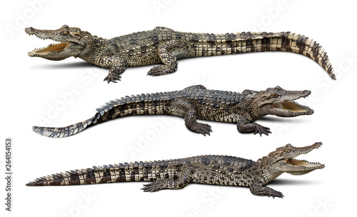 Obraz na plátně Group of wildlife crocodile isolated on white background with clipping path