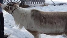 Close-up Of A Reindeer Walking...
