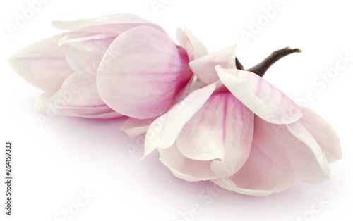 Photo sur Aluminium Magnolia Magnolia flower
