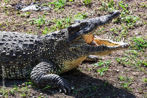 Poster Crocodile crocodile close up