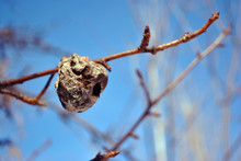Rotten Dry Last Year Pear On Tree, Close Up Detail, Soft Blurry Gray Twigs And Blue Sky Background