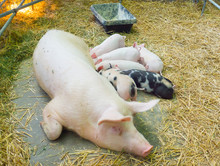 Group Of Piglets Suckling From Mother Pig In Australian Pig Farming.