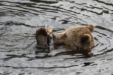 Closeup Portrait Of The Head Adult Brown Bear Swimming In The Dark Water And Gnawing A Bone. Ursus Arctos Beringianus. Kamchatka Bear.