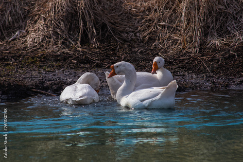 Fotografie, Obraz  white geese in the water