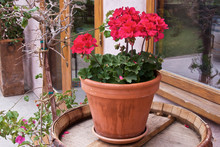 Red Geranium Is Growing In A Ceramic Pot, Standing On A Wooden Barrel. Horizontal View